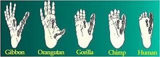 Superespecialização do polegar.